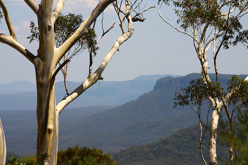 Gum tree photo