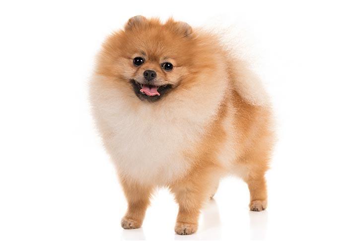 Pomeranian abomination